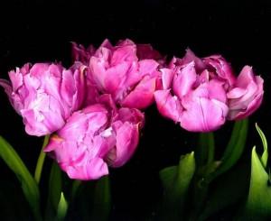 733px-Tulips