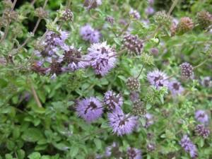 Image: Pennyroyal, an abortifacient herb