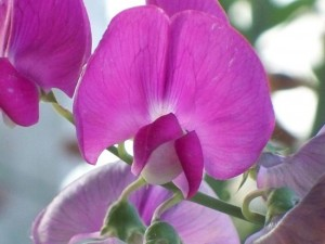 Sweet pea? You don't know me.   (Image: HMBascom via Wiki Commons)